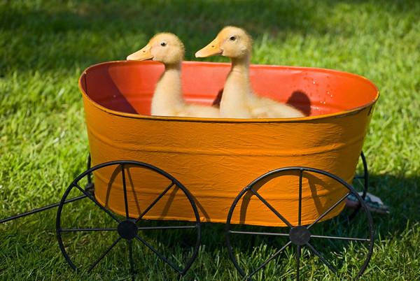 """Baby Ducks in Planter"""
