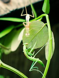 Praying Mantis Shedding