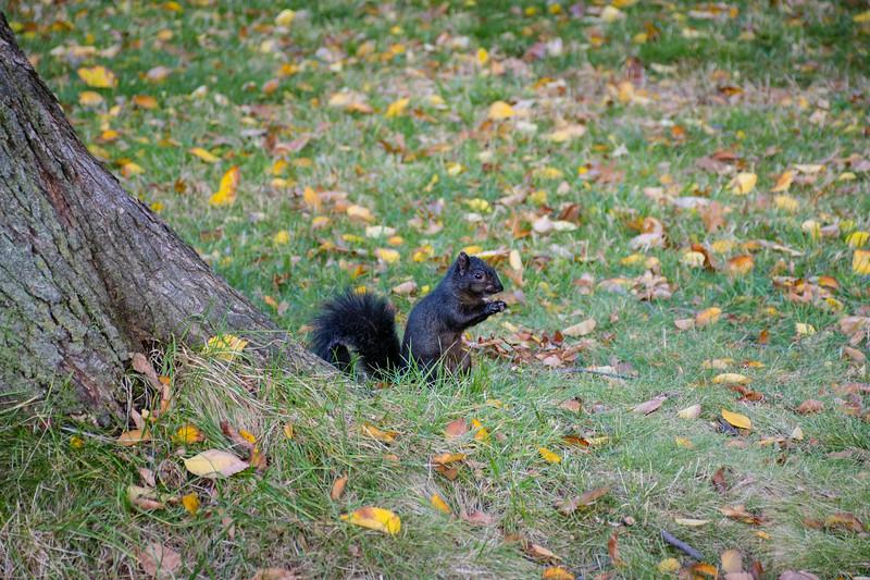 Black Squirrel Central Park