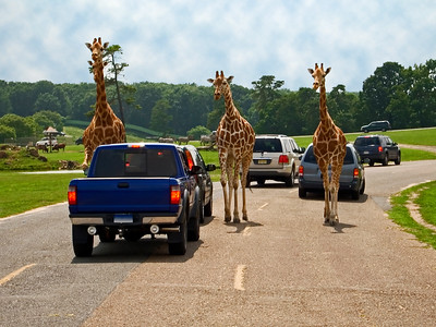 """Oncoming Traffic"" Giraffes coming up the roadway while on Safari at Six Flags Great Adventure in Jackson, New Jersey."