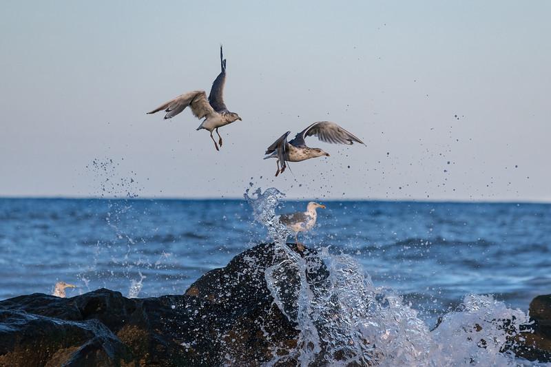 Seagulls and Splash