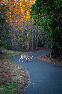 Autumn Deer on Path