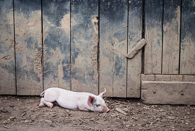 """Resting Pig""  A pig resting in the barnyard in rural Central New Jersey."