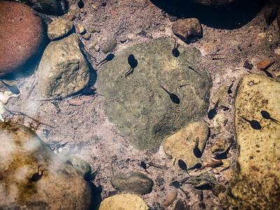 Tadpoles in Stream