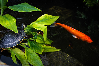 Turtle and Koi
