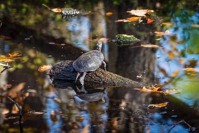 Turtle Sunbathing on Log