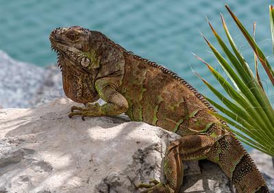 Iguana on Stone