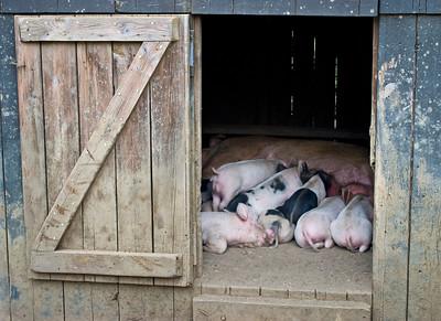 Little Piggies Pigs Feeding Inside A Barn In Rural CentralNew Jersey