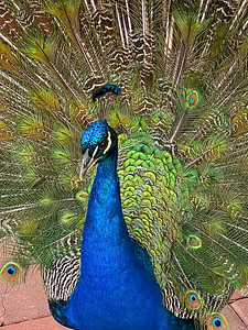 Peacock Beauty