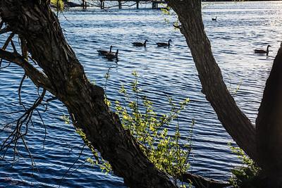 Ducks Silhouette on Lake