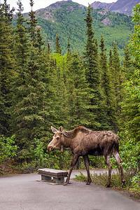 Park Moose