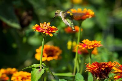 """Hummingbird"" Hummingbird captured in flight in a marigold garden in Middletown, New Jersey."