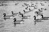 A black and white photograph of many ducks swimming on Holiday Lake in Manalapan, New Jersey.