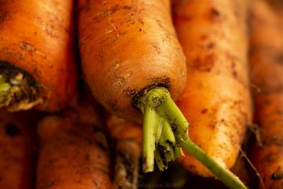 Carrots fresh from the Garden