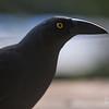 'Crow Boy'