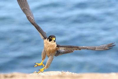 Peregrine Taking Flight