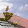 Roof Robin