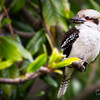 Kookaburra in the old Magnolia Tree