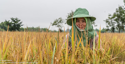 Women worker at a Rice Field, Kyaing Tong, Shan State, Myanmar