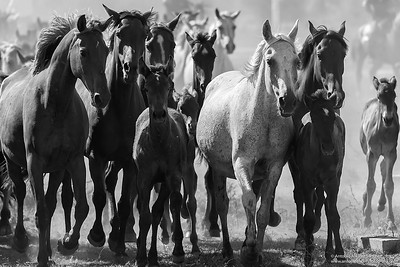 Caballos marismeños / Horses of the marshes.