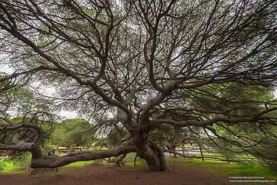 Pino centenario de Mazagon / Centenary pine Mazagón