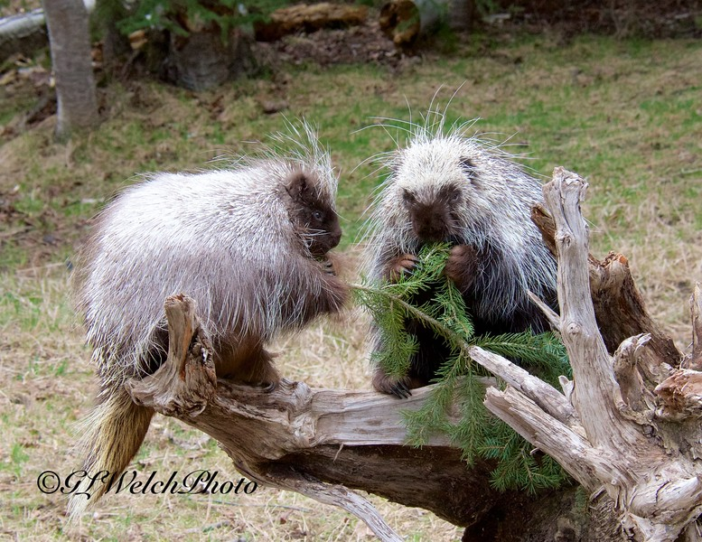 Porcupine Pair on Tree Stump