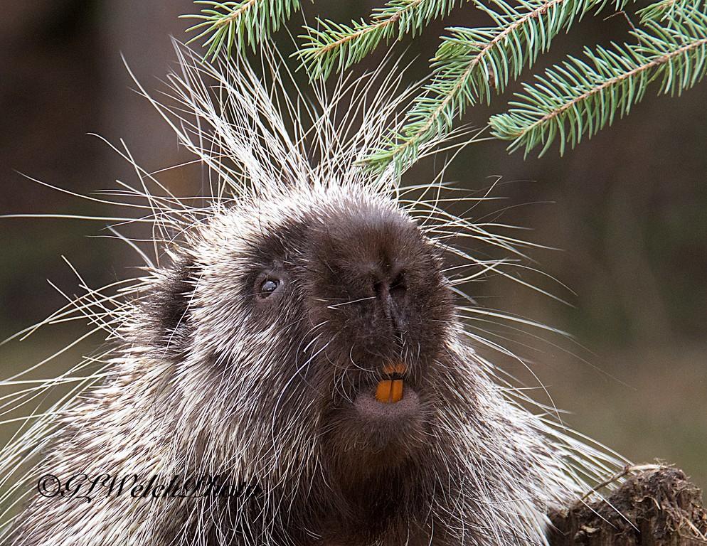 Porcupine head shot