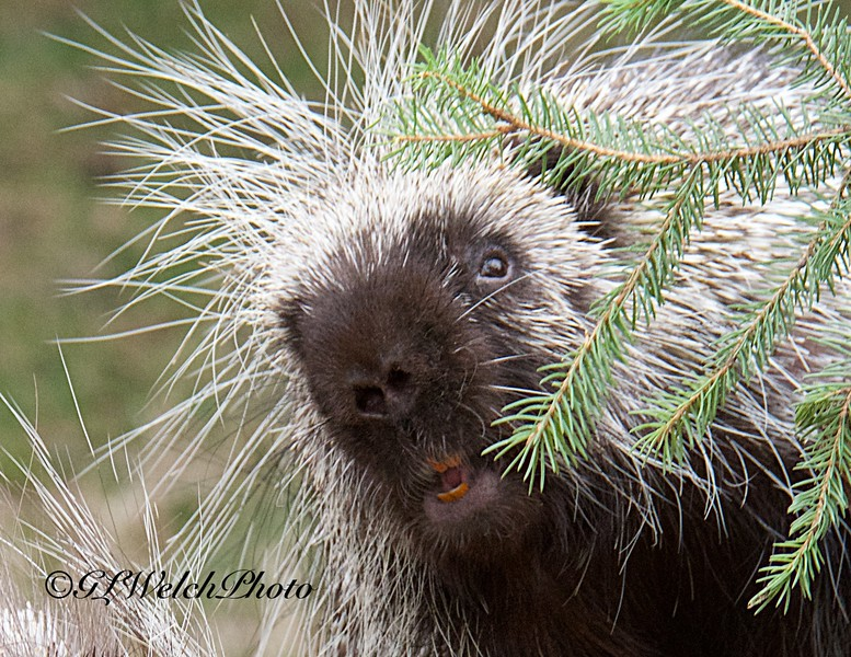 Porcupine in the Pines