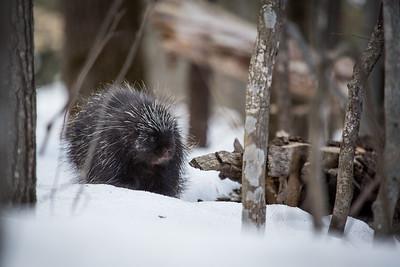 North American porcupine (Erethizon dorsatum), Vermont, USA. (Habituated rescued individual returned to the wild)