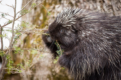 North American porcupine (Erethizon dorsatum), feeding on a young spruce tree. Vermont, USA. (Habituated rescued individual returned to the wild)