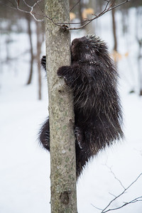 North American porcupine (Erethizon dorsatum),  climbing a tree. Vermont, USA. (Habituated rescued individual returned to the wild)