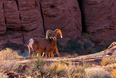 Dramatic Big Horn Sheep Morning at Valley of Fire State Park Landscape Views