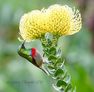 Sunbird on Protea