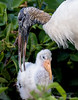 Wood stork and chick