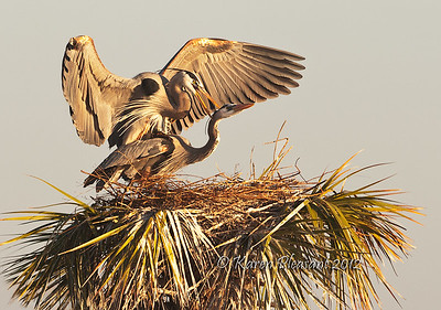 Mating Great Blue Herons