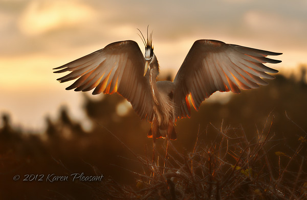 Great Blue Heron @ sunrise