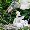 Woodstork feeding babies