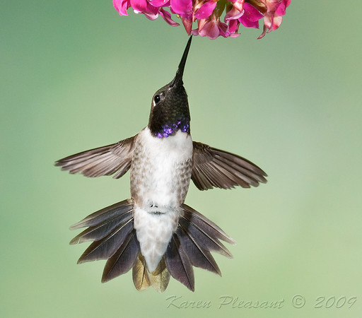 Male Black-Chinned