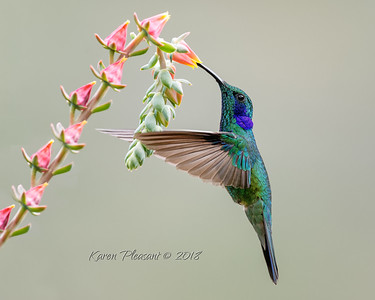Mexican violetear hummingbird