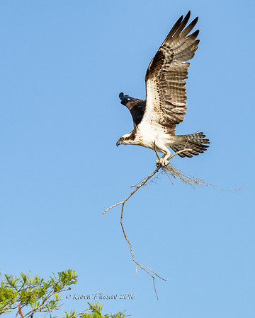 Osprey with large nesting material!