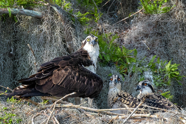 Osprey Family on alert