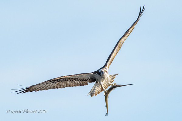 Osprey with garfish