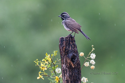 Blackthroated sparrow