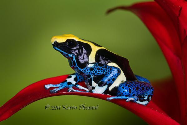 """Dendrobates tinctorius, """"Surinam"""" dart frog"""
