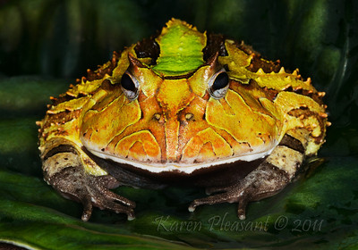 Surinam Horn frog
