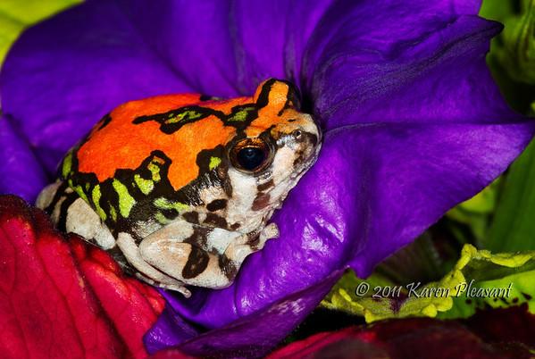 Red Rain frog