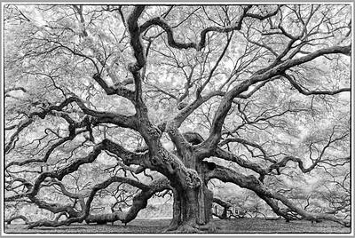Angel Oak Tree, John's Island, South Carolina