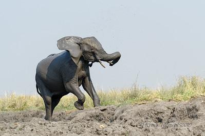 Frisky young elephant