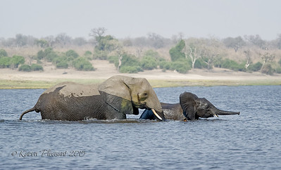 River crossing, Chobe River, Botswana