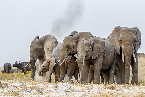 Elephants dusting their skin